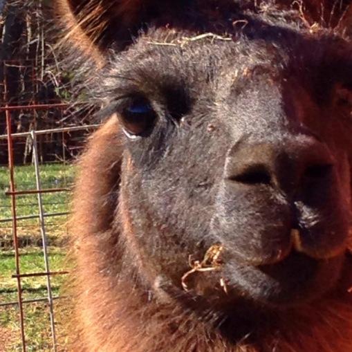 Coco llama